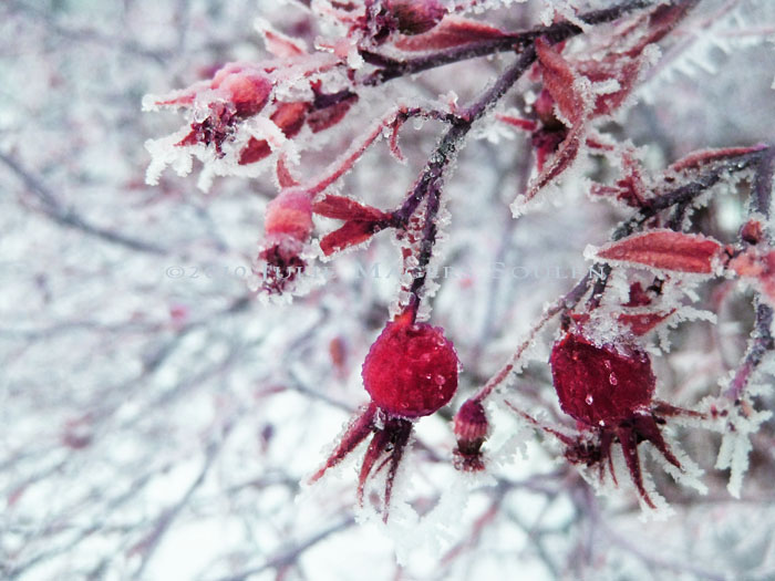 Icy and sparkling in the dim winter light, a cluster of ruby red rose hips highlight the winter garden.