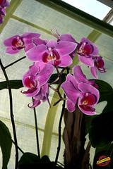 Phalaenopsis JOYAU 'Suzanne' x CARMELA'S PIXIE 'Bedford' - Orchidaceae C20100130 141 (fotoproze) Tags: canada orchids quebec montreal phalaenopsis orchidee orqudeas orchideje orchides 2010 anggrek orchideen   orkide jardinbotaniquedemontreal montrealbotanicalgardens hoalan storczyki orchideen  orhidee  orkideer orqudies orkideat brnugrs orhideje  orkider orkideak orchidey   orchids  orchidek magairln  tegeirianau