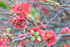 Quince blossoms (beyondramen) Tags: flowers spring blossoms quince fruittrees