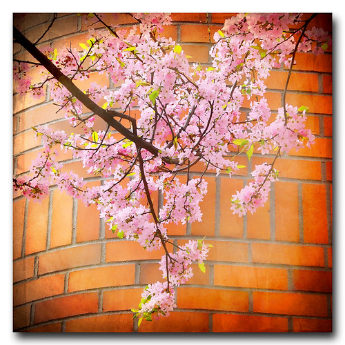 Spring blossoms . Victoria .. Feb 9th