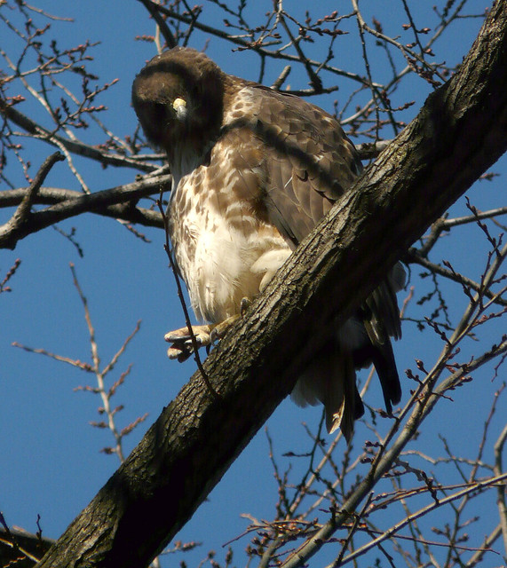 Claw foot Red-Tailed Hawk hawk in Tompkins Square Park