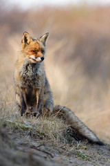 Bathing in the morning sun (Dennis Rademaker) Tags: morning red orange sun white holland color nature colors mammal wildlife fox duinen awd redfox amsterdamse waterleiding specanimal dennisrademaker