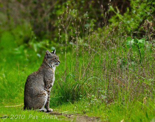 First bobcat encounter (1of2)