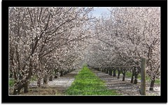 Spring Has Sprung.. (scrapping61) Tags: california trees spring legacy tqm netart centralvalley 2010 orchards sanjoaquinvalley tistheseason swp norules sirhenry cherryontop objectiveart goldengallery dailypost betterthangood scrapping61 damniwish awardtree tisexcellence miasbest finestimages flickrvault trolledproud crazygeniuses finesttrees exoticimage heavensexcellence heavensshots topsevengallery ltwon
