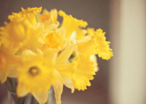 57/365 . . . daffodils