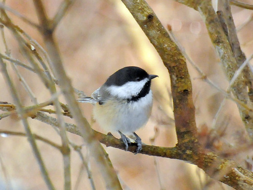 perfect chickadee