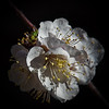 peach flower (Christos Tsoumplekas (Back again!)) Tags: flower nature spring crete peachflower