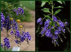 Two is better than one! -  Geisha Girl' flowers (Tatters:)) Tags: flowers diptych purple stitch mosaic australia qld shrub chapelhill purpleflowers duranta verbenaceae geishagirl durantarepens cultivar durantaerecta goldendewdrops durantablue