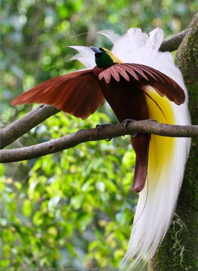 Bird-of-Paradise_Cendrawasih