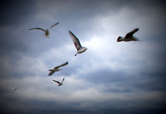 Finding a bright spot - Seagulls - birds (blmiers2) Tags: usa seagulls newyork bird nature birds clouds geotagged flying nikon gaivotas seagull gulls faves soaring gaviotas gabbiani photo1 mouettes  catchycolorsblue zeemeeuwen johnathanlivingstonseagull   seemwen   d40x findingabrightspot blm18 blmiers2