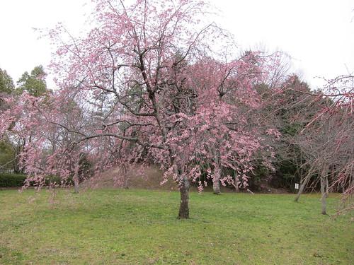 Japanese Cherry, 桜の下には...