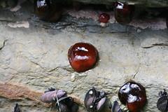 Actinia tenebrosa (Waratah Anenome) (Arthur Chapman) Tags: australia tasmania intertidal seaanemone invertebrate rockpool cnidaria tenebrosa tessellatedpavement actinia eaglehawkneck piratesbay taxonomy:kingdom=animalia taxonomy:class=anthozoa taxonomy:family=actiniidae taxonomy:phylum=cnidaria geo:country=australia geocode:accuracy=200meters geocode:method=googleearth actiniatenebrosa tessellatedsandstone taxonomy:class=actniaria taxonomy:binomial=actininatenebrosa waratahanenome taxonomy:genus=actinia taxonomy:common=waratahanenome