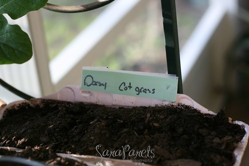 Daisy and cat grass