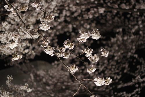 Cherry blossom in Toho Studio