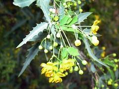 Berberidaceae: Mahonia haematocarpa 7 (David Bygott) Tags: arizona usa plant flower yellow ruby wildflower eol berberidaceae davidbygott taxonomy:binomial=mahoniahaematocarpa
