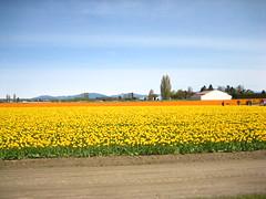 IMG_9367 (SC in Seattle) Tags: flower spring valley tulip skagit 2010 ijen szuchichen skagig hsienyi