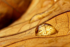 Feeling thirsty? (Rho178) Tags: autumn macro art leave texture canon golden dof powershot droplet shallowdof a720 diamondclassphotographer flickrdiamond