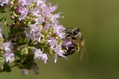Bee2_20080715