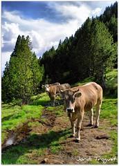 Mirada discreta (Jordi TROGUET (Thanks for 1.862.797+views)) Tags: leica verde nature europa ngc natura montaa jordi montain muntanya vaca x1 verd pirineos pirineus jtr canillo natureplus ransol troguet jorditroguet saariysqualitypictures leicax1 mygearandme gigilivornosfriends leicacameraagleicax1 vacascowvache aboveandbeyondlevel1 aboveandbeyondlevel2