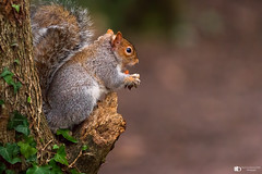 Feeling peckish (technodean2000) Tags: squirrels members family sciuridae that includes small or mediumsize rodents the squirrel tree ground nikon d610 sigma 150600mm animal gray outdoor photo border depth field cat pet mammal