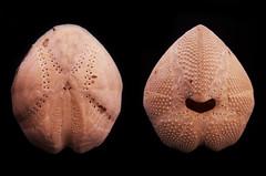 Erizo de corazón (Bellwizard) Tags: mediterranean mediterraneo mediterráneo seaurchin mediterrani seapotato erizodemar echinocardiumcordatum hearturchin seamice eriçódemar ratóndemar erizodecorazón