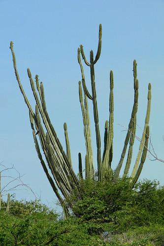 Cactus columnar [Pilosocereus repandus]