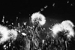 Decompression (Effe.Effe) Tags: bw monochrome bn dandelions soffioni