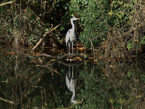 Heron on the River Avon