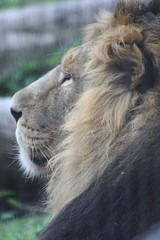 Asian Lion (Oscar von Bonsdorff) Tags: asianlion asiaticlion asiatisktlejon aasianleijona lejon leijona lion lionface panthera leo persica pantheraleopersica lev lve lwe pantheraleo lvi oroszln ljn leeuw lew leo  leu aslan asiatischerlwe lionasiatique zsiaioroszln perzischeleeuw lewazjatycki leoasitico  asyaaslan helsinkizoo korkeasaari hgholmen mustikkamaa blbrslandet helsinki helsingfors finland suomi finnland maj2009 toukokuu2009 cute funny st sp sweet   fin smart elegant fine good veryfunny