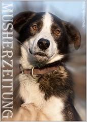 Finnmarkslopet-Team-Dog: Pippin