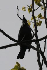 Tui (russellstreet) Tags: newzealand bird auckland tui nzl aucklandbotanicalgardens