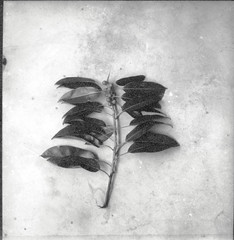 Specimen of an undetermined plant collected near Palu
