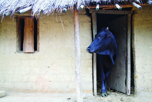 Dairy cow looks out from her stall in a village in central Malawi