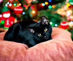 Felix Xmas (arimou0) Tags: lucy felix kitties nofood
