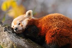 Please don't disturb... (Tambako the Jaguar) Tags: sleeping red tree cute mammal zoo switzerland nikon panda branch small zurich zürich asleep lying d300