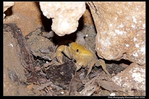 Female Geothelphusa albogilva - 黃灰澤蟹