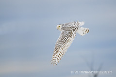 Snowy Owl season is here! (Ralf Nowak) Tags: ontario canada bird nature birds animal fauna nikon snowy wildlife hamilton sigma explore raptor owl frontpage birdofprey stoneycreek bubo snowyowl ptak hfg d300 ptaki sowa sigmalens buboscandiacus scandiacus sowy niena nikond300 thewonderfulworldofbirds sowaniena
