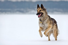 Mona (Kerli'sPhotography) Tags: winter dog snow mona running belgianshepherd sessioon estremit