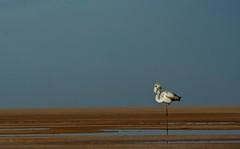 On one leg (منصور الصغير) Tags: africa me flamingo north east middle libya lybia libyan libia على منصور ليبيا الصغير المصور الليبى اليبي الفوتغرافى