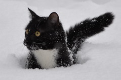 Onyx in the Snow (Alexander Yates) Tags: winter snow cold nature cat kitten cny confused syracuse northamerica writer onyx novelist coldcat travelwriter alexanderyates