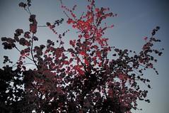 Blte eines Zierapfels SPA_3374 (Chironius) Tags: blte blossom flower fleur flor fiore   rtlich rosids fabids rosales rosenartige rosaceae rosengewchse rosoideae pyreae kernobstgewchse pyrinae apfel malus baum bume tree trees arbre  rbol arbres  rboles albero rvore aa boom trd baumblte
