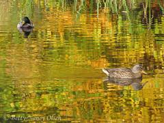 Autumn (Betty Olsen) Tags: autumn reflection water rush mallard