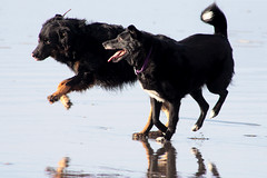 Napoleon and Pee Pee at Play (kenneth barton) Tags: pets playing cute beach oregon seaside play dos napoleon playful peepee kennethbarton rossfarrier murts kennethbartonphotographer kennethbartonphotography