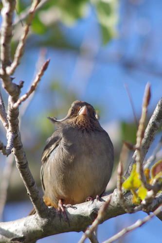 Bird photo with Tokina SD 400mm f/5.6 and pentax k-x white, american robin