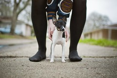 Sookie (laurenmarek) Tags: dog feet puppy nikon focus texas dof sigma explore adobe frontpage toyfoxterrier lightroom 30mm d40 laurenmarek