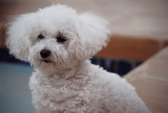 soft & warm - voxtrot (jmrpixie) Tags: blue light shadow red orange dog white black cute brick water pool lines dark puppy toy outside nose big blurry eyes focus glow natural small fluffy curls ears sharp curly tiny poodle aww puffy aw edit minature
