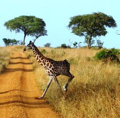 Crossing the Road - South Western, Uganda (whl.travel) Tags: park wildlife safari giraffe uganda potwu