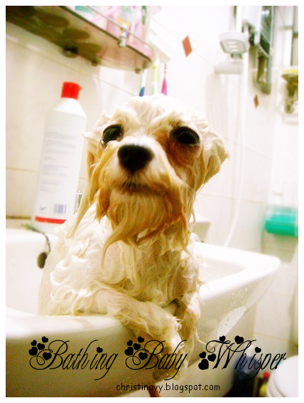 Bathing Whisper the Maltese