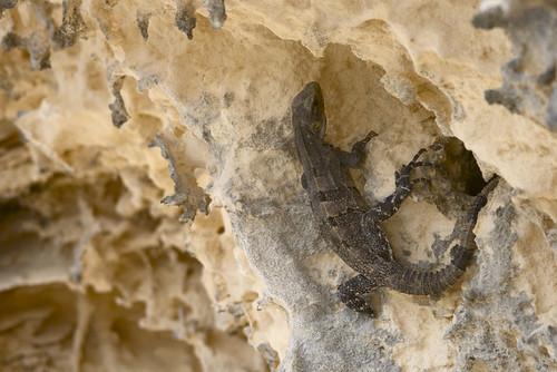 Rockclimbing Lizard