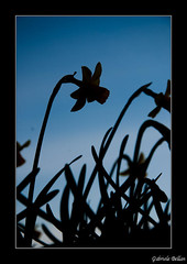 Flower silhouette (G4BR13L3) Tags: dpssilhouettes